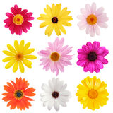Daisy collection. Nine colorful daisies isolated on white stock images