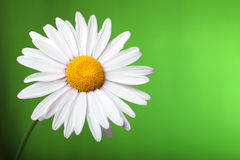 Daisy on colored background Royalty Free Stock Images