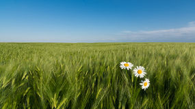 Daisy in corn. Romantic view of white marguerites in green corn field under blue sky Royalty Free Stock Photos