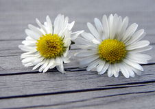 Daisy couple. Nothing special but two daisies on a rough wooden surface as presented by our children who had picked them for us Royalty Free Stock Photography