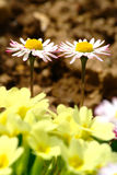 Daisy Couple Fotografia Stock