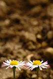 Daisy Couple In The Garden Royalty Free Stock Photography
