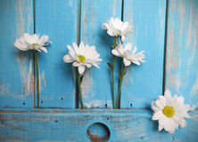 Daisy  in the cracks of  wooden background Stock Images