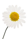 Daisy cutout Royalty Free Stock Photography