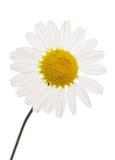 Daisy cutout. Oxeye Daisy flower studio cutout royalty free stock photography