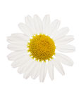 Daisy cutout. Oxeye Daisy flower studio cutout Royalty Free Stock Images