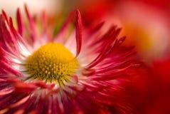 daisy czerwony kwiat Obraz Stock