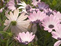 daisy dżdżyste Zdjęcia Royalty Free