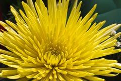 Daisy dahlia Stock Image