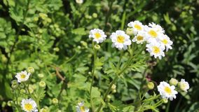 Daisy. The daises was filmed in Bulgaria Yambol stock video