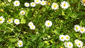 Daisy. Daisies flowers. Full HD with motorized slider. 1080p. Royalty Free Stock Images