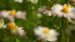 Daisy. Daisies flowers. Full HD with motorized slider. 1080p. Stock Images