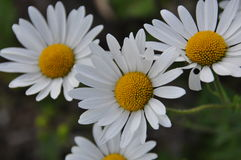 Daisy. The daisies on the meadow Stock Images