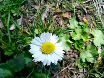 A single daisy in nature royalty free stock images