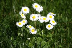 Daisy. Daisy flowers in spring on a meadow in green grass in nature. Marguerite flowers. Floral pattern. Coin flower. Spring and s Stock Photos