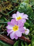 Daisy royalty free stock image