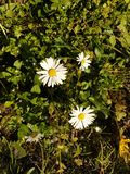 Daisy. Grass green white yellow stock images