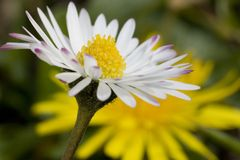 Daisy and dandelion. Close-up of a daisy with a dandelion in the background (selective focus on the daisy Stock Images