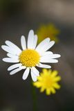 Daisy and Dandelions Royalty Free Stock Image