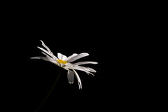 Daisy in the Dark. A white daisy with a yellow center isolated against a black background Royalty Free Stock Images