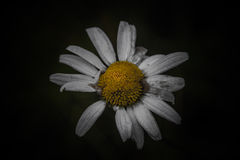 Daisy on a dark background Royalty Free Stock Photo