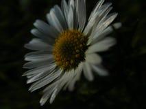 Daisy in the dark royalty free stock image