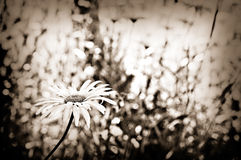 Daisy Among Darkness. A lone daisy in a sepia tone with vegetation in background Royalty Free Stock Photography