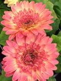 Daisy Day cor-de-rosa Imagem de Stock Royalty Free