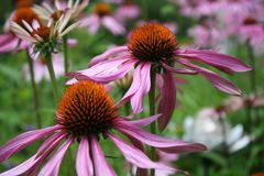 Daisy day. Flowers pink green Royalty Free Stock Photos