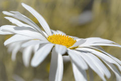 Daisy. A Daisy on a daylight stock image