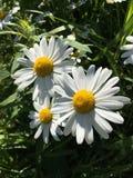 Daisy in de Botanische Tuin van Oslo, Noorwegen Stock Foto's