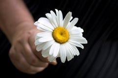 Daisy in de hand stock foto