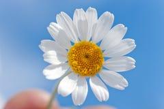 Daisy in de hemel Royalty-vrije Stock Afbeeldingen