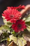 Daisy in de lente Stock Foto