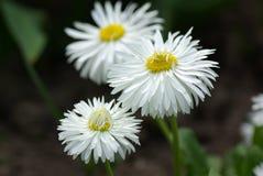 Daisy in de lente Stock Afbeeldingen