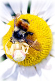 Daisy of Death. A spider captured and is eating the bee Stock Image