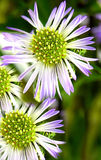Daisy Delicacy. Macro shot of tiny, fragile lavender and white daisy shaped flowers royalty free stock photography