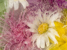 Daisy delicate flower frozen in ice Royalty Free Stock Images