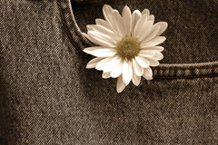 Daisy in denim pocket/ Sepia. Single daisy tucked into jean pocket Royalty Free Stock Photos
