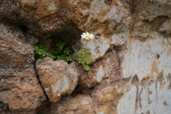 Daisy on a destroyed wall stock photography