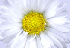 Daisy detail Royalty Free Stock Photography