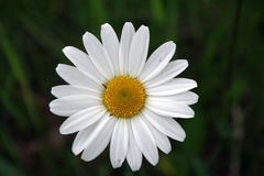 Daisy. Detail of bloom white daisy Stock Photo