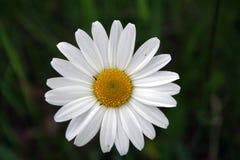 Daisy. Detail of bloom white daisy stock photo