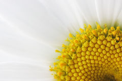 Daisy Details Royalty Free Stock Image