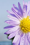 daisy with dew Stock Photography