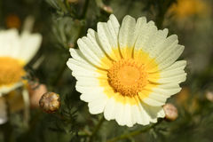 Daisy with dew drops stock photography