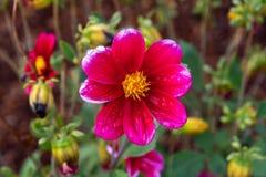 Daisy Dew i blommaträdgården royaltyfria foton