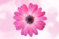 Daisy with diffuse pink background Stock Photos