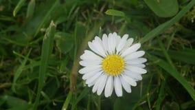 Daisy Divine fotografia stock libera da diritti