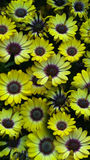 Daisy Do. Beautiful daisys, eye catching color while on walk Royalty Free Stock Photo